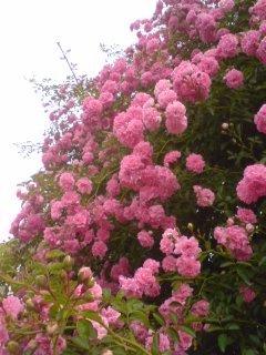 ピンクのバラ1.JPG